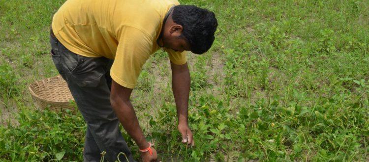 Ein indischer Mitarbeiter erntet Bohnen im Küchengarten. Foto: DIZ